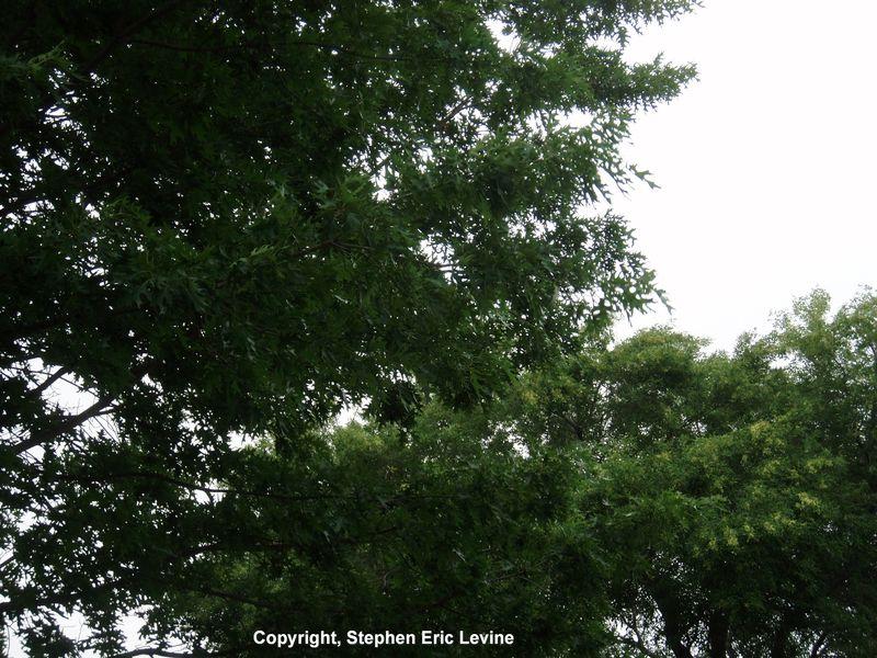 Hood-tree2-inet