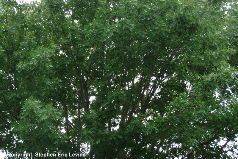 Hood-tree1-inet