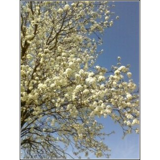 Blossoms1-March2-2012